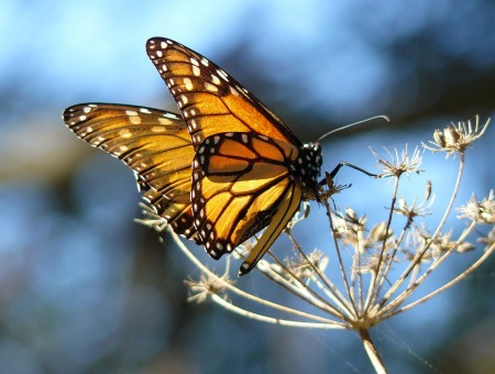 Monarch Butterfly On A Dry Flower