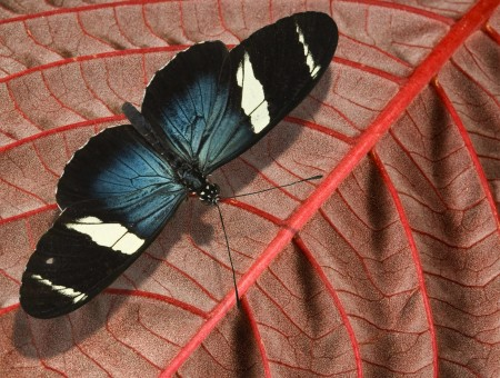 White Black And Blue Butterfly On Brown Leaves