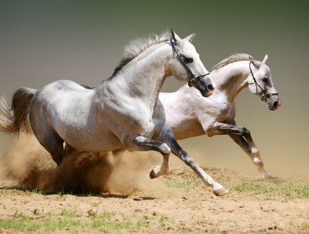 White Horses Running On The Field With Brown Sand And Green Grass