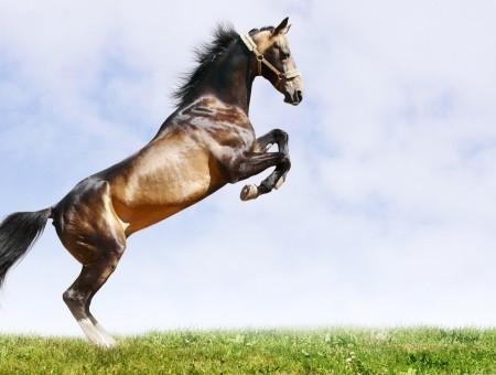Brown Coated Horse Jumped On Green Grass Field Under Sunny Blue Cloudy Sky