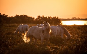 Desktop Wallpaper: White Horses On Gree...