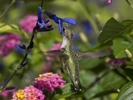 Gray Humming Bird In Blue Flower In Close Up Photography