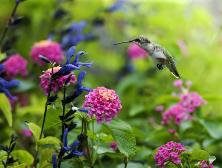Brown Green Hummingbird Flying Front Of Purple Flower