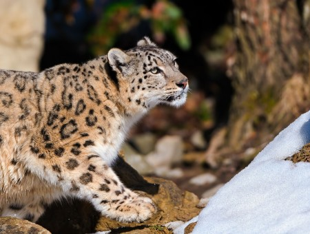 Mountain Leopard Photo