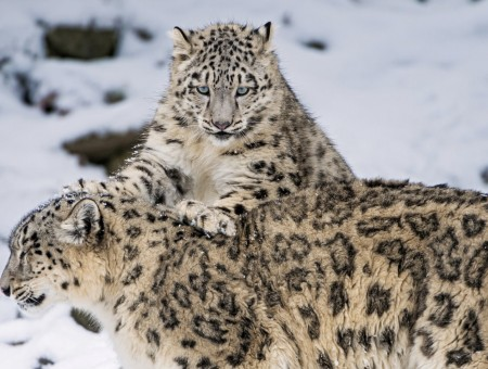 2 Cheetahs Playing On Snow Covered Field During Day