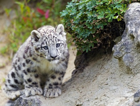 Snow Leopard Beside Green Bush Plant