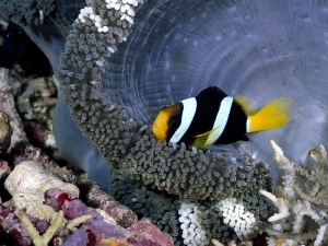 Desktop Wallpaper: Yellowtail Clownfish...
