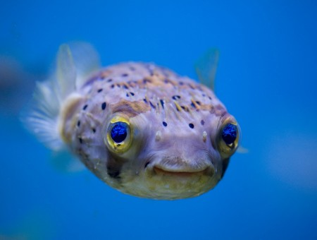 Grey And Yellow Puffer Fish