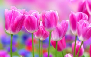 Desktop Wallpaper: Pink White Tulips In...