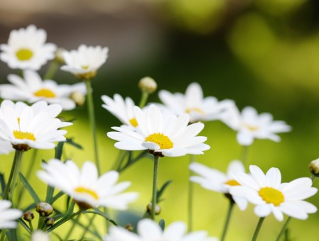 Selective Photo Of Daisy Flowers