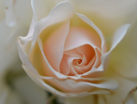 Pink-center White Rose