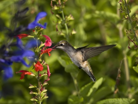 Hummingbird On Red Flower