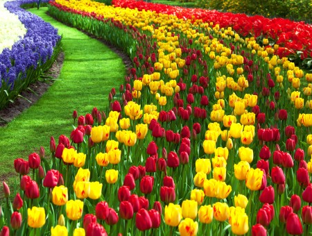 Yellow Red And Purple Tulip Field
