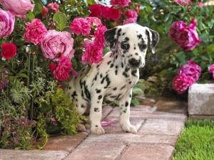 Desktop Wallpaper: Dalmatian Puppy
