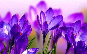 Desktop Wallpaper: Purple Flower