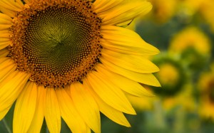 Desktop Wallpaper: Yellow Sunflowers