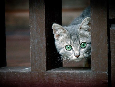 Grey Tabby Cat Looking Through Wooden Bar