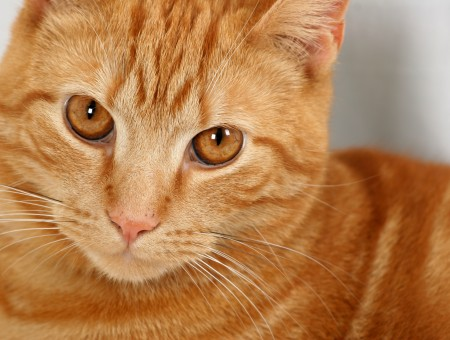 Orange Cat In Close Up Photography