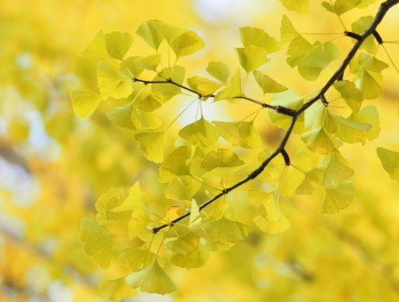 Yellow Leaves On Branch