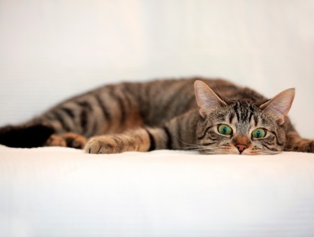 Brown Tabby Cat With Green Eyes Laying Flat On White Blanket