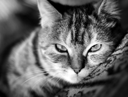 Tabby Cat Greyscale Photo
