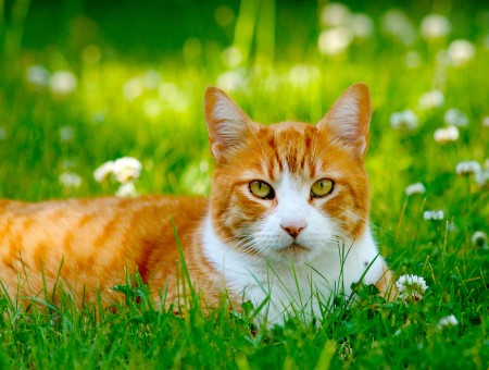 Orange And White Cat Lying On Green Grasses Field