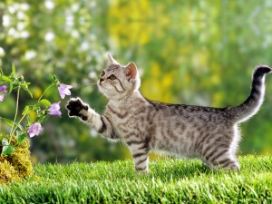 Desktop Wallpaper: Brown Tabby Cat Besi...