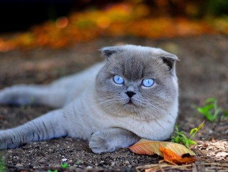 Gray White Scottish Fold Cat Lying On Ground