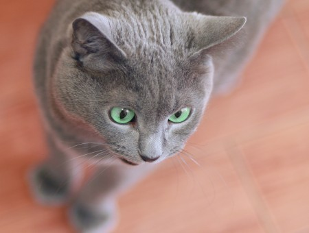 Russian Blue Cat In Macro Lens Photography