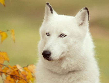Close Photography Of White Wolf During Daytime