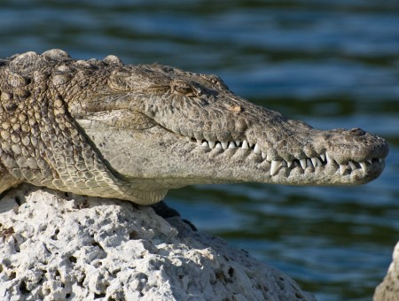 Alligator On A White Rock