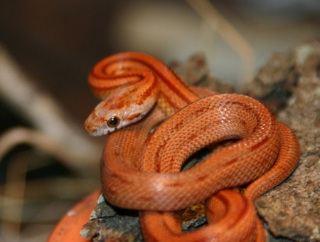 Orange Snake Close Up View