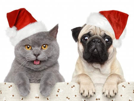 Fawn Pug Beside Korat Cat With Santa Hats