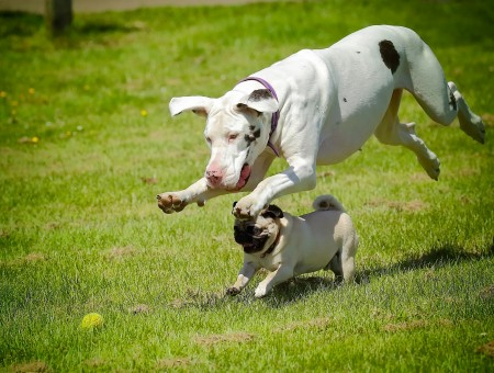 White Black Great Dane Leap Over Fawn Pug Running On Green Grass During Daylight
