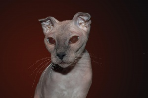 Desktop Wallpaper: Sphynx Cat