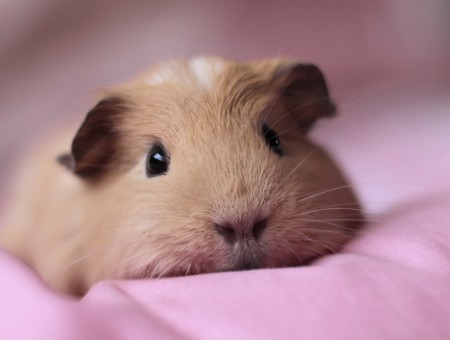 Brown Hamster On Pink Textile