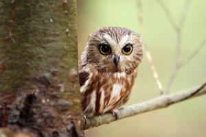 Desktop Wallpaper: White And Brown Owl ...