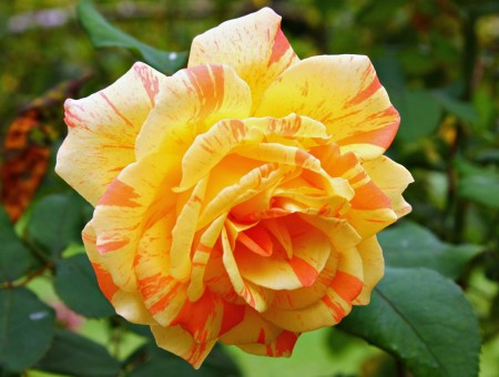 Close Up Photo Of Yellow And Orange Rose During Daytime