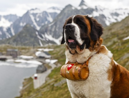 Saint Bernard Dog On Green Grassy Field