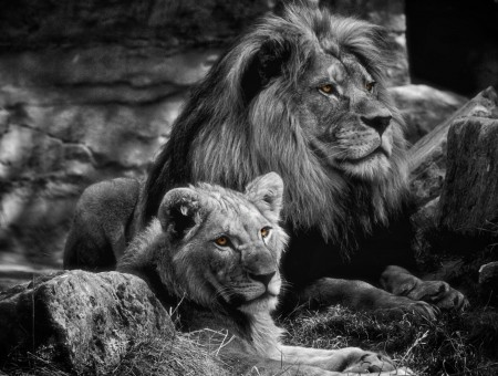 Lion And Lioness In Grayscale Photography Wallpapers Every Day