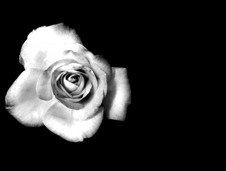 Grey Scale Photo Of Rose