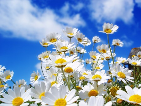 White Daisy Field Under Cloudy Blue Sky