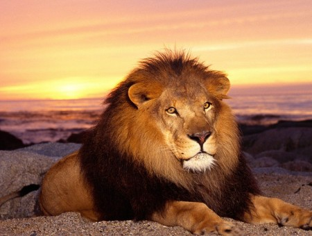 Picture Of Lion During Sunrise