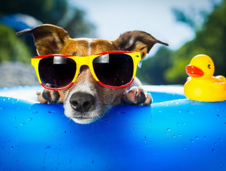 Brown And White Short Coated Medium Breed Dog Wearing Red And Yellow Wayfarer Sunglasses