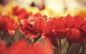 Desktop Wallpaper: Red Flower In Tilt S...