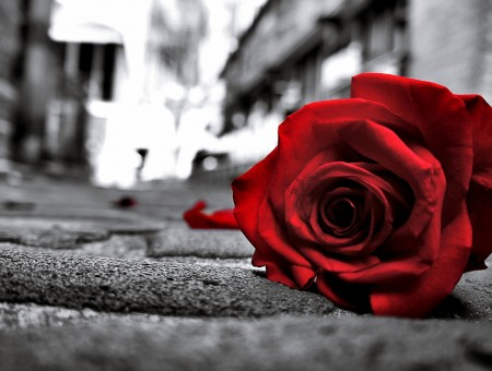 Red Rose On Concrete Road