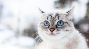 Desktop Wallpaper: White And Gray Tabby...