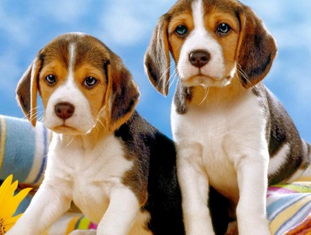 2 Tricolor Puppies