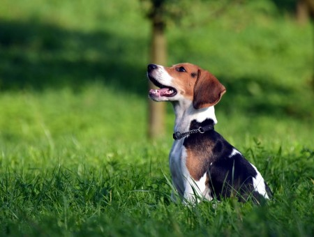 Brown Black And White Beagle Dog Beagle
