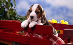 Desktop Wallpaper: Tricolor Beagle Pupp...